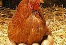 Photo of دجاج معدل وراثياً يضع بيضاً «يعالج» المرض القاتل السرطان