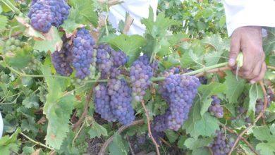 Photo of جني محصول العنب في بلدة الوقبة بولاية ينقل في سلطنة عمان