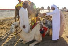 Photo of مقيظة الهجن… عادات عمانية تقليدية