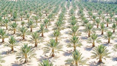 Photo of مشروع «المليون نخلة» رافد كبير لتوسيع رقعة زراعة النخيل في عُمان