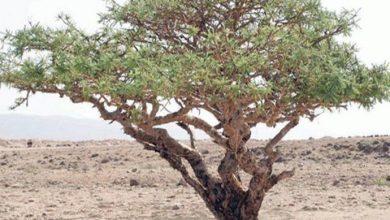 Photo of شجرة اللبان ثروة طبيعية ذات فوائد اقتصادية وطبية