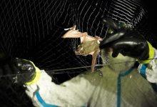 Photo of باحثون يجمعون عينات من الخفافيش في كمبوديا لبحث أصل فيروس كورونا